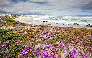 Wild flowers bloom along the sandy shores of the West Coast National Park.