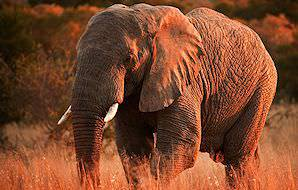 A majestic elephant touched by the setting sun.