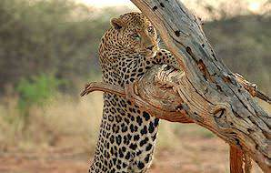 A curious leopard leaps up on a dead tree.