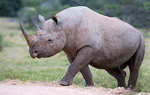 A black rhino prepares to cross the road.
