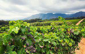 An overcast day in the Cape winelands.