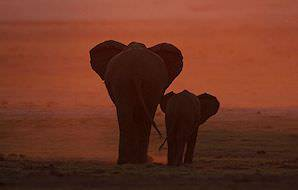 An elephant and her calf wander into the sunset.