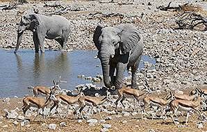 Elephants and springbok gather around a waterhole in Etosha.