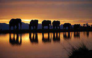 The elephants of the Knysna Elephant Park during a sunset walk.