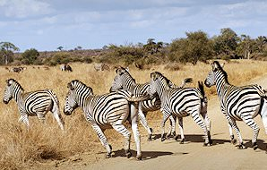 Zebras cross a road in the Kruger National Park.