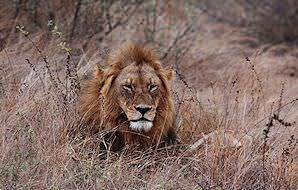 A lion spotted on safari in South Africa's Kruger National Park.