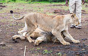 The antics of lion cubs are always endearing to behold.