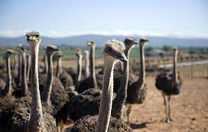 A flock of female ostriches on a farm near Oudtshoorn.