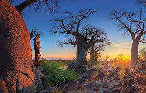 Baobab trees in Botswana.