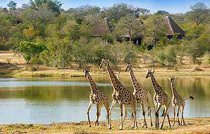 Giraffes spotted on safari at Chitwa Chitwa in the Sabi Sand.