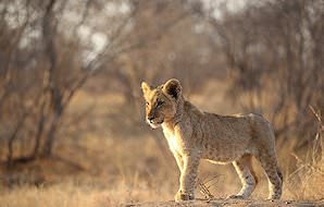 A lion cub surveys the landscape around him.