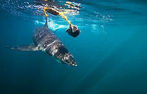 Dive with great white sharks off the coast of South Africa.