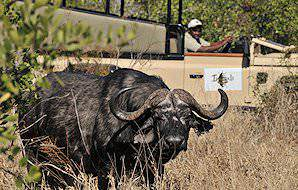An Imbali safari vehicle stops alongside a weathered Cape buffalo in the Kruger National Park.