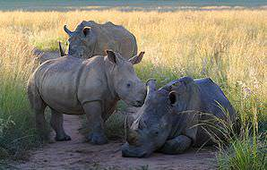 A pair of rhinos spotted with their calf in Welgevonden Game Reserve.