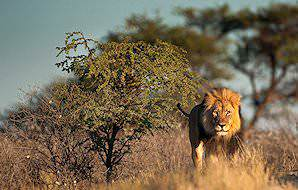 An imposing male lion marks his territory against a small thorn tree.