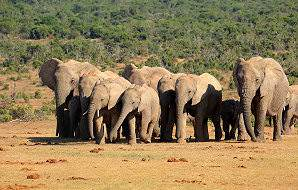 A herd of elephants in the Addo Elephant National Park.