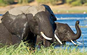 Elephants bask in the prolific waters of the Chobe River.