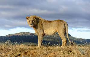 A lion pauses at the top of a grassy embankment in Madikwe.