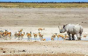 A rhino pauses at waterhole in Etosha alongside a herd of springbok.
