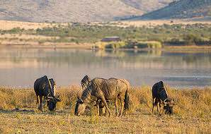 Wildebeest graze alongside a waterhole in the Pilanesberg Game Reserve.