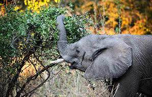 An elephant browses in the bush in Welgevonden.