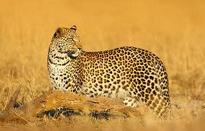 A leopard pauses in the grasslands on the edge of Mana Pools.