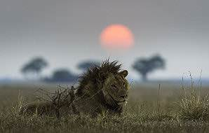 A lone male lion at sunset on the Busanga Plains of Kafue National Park.