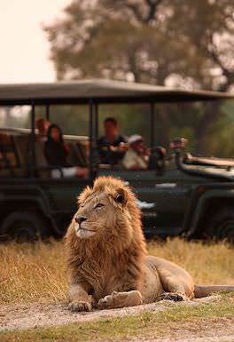A safari vehicle pauses alongside a handsome male lion in the Okavango Delta.