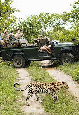 A game viewing vehicle pauses alongside a leopard in the Sabi Sand.