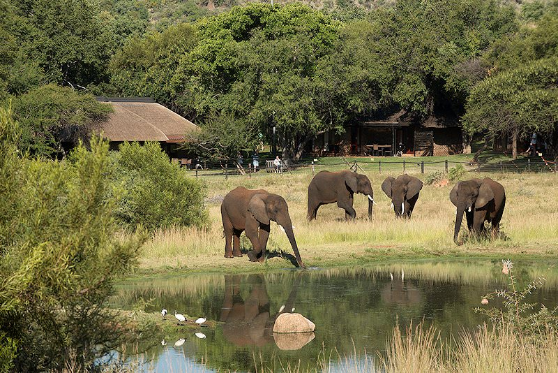 A small herd of elephants drink from a waterhole in front of Bakubung.
