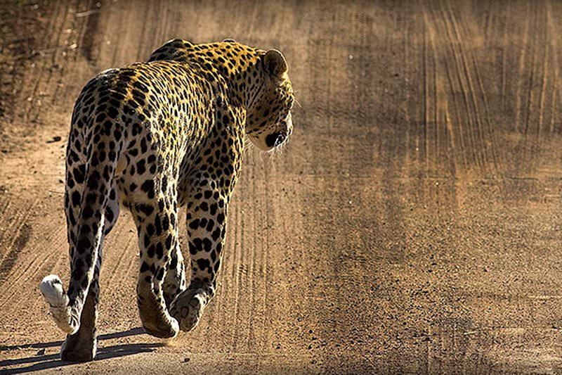 A leopard wanders down a dirt track in Pilanesberg.