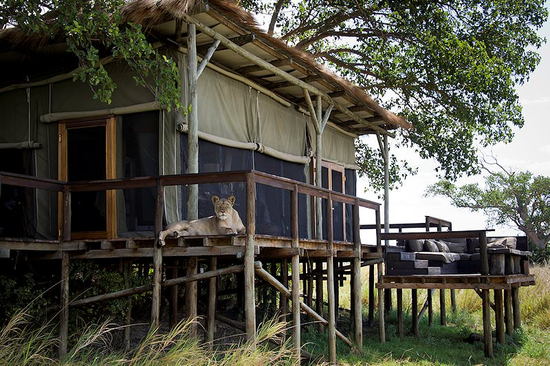 A lionness lounges on the deck of a tented suite at Shumba Camp.