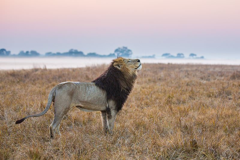 A male lion on the Busanga Plains in Kafue National Park.