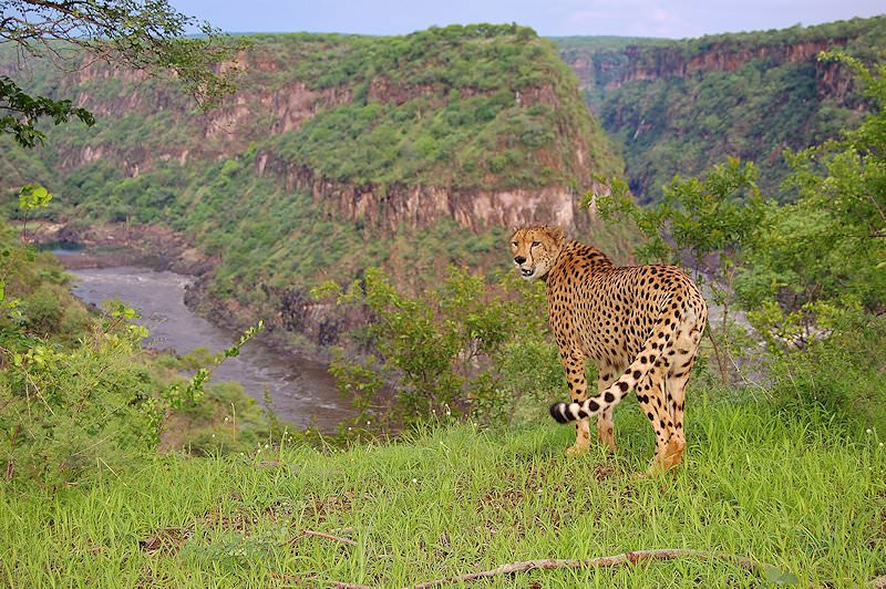 A cheetah looks out across the Batoka Gorge.
