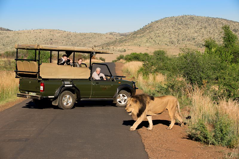 A lion is spotted during a game drive in the Pilanesberg Game Reserve.