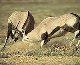 The gemsbok's spear-like horns are used as weapons.