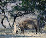 A warthog spotted on safari in the Hluhluwe-iMfolozi Game Reserve.
