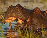 The Chobe River bears an abundance of hippos.