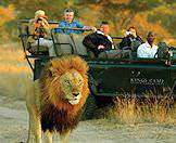 A safari encounter with a male lion is an exhilarating experience.