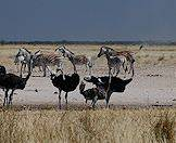 A flock of ostriches share a waterhole with a small herd of zebras.