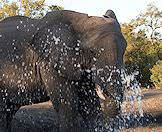 An elephant enjoys a drink at a waterhole in Timbavati.