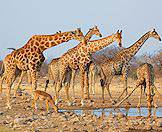 A tower of giraffe share their waterhole with an impala.