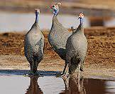 Helmeted guinea fowl occur widely across the wilderness areas of Southern Africa.