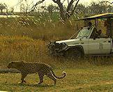 A thrilling leopard sighting in the Okavango Delta.