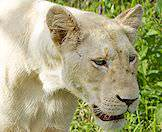 A close-up of a white lioness in Timbavati.