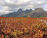 Rich autumn colors trundle across the vineyards of the Cape winelands.