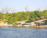 Elephants wander over to the banks of the Chobe River for a drink.