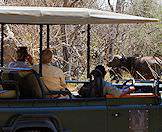 A safari vehicle surrounded by a herd of Cape buffalo.