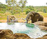 Elephants will often wander near safari lodges to take advantage of the swimming pools.
