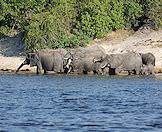 The Chobe River draws hundreds of elephants to its banks.